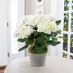 This beautiful snow-white hydrangea gift arrives at its recipient's door in full bloom. White Christmas, Hydrangea, Glass Vase, Bloom, Flowers, Plants, Avocado Egg, Gifts, Beautiful
