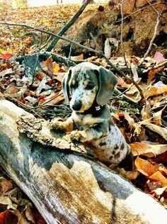 Camouflage Wiener Dog!
