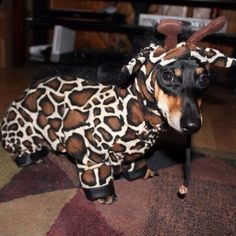 This is Relish, my mini dachshund. This is his Halloween costume! A giraffe! Won first place at Petco! I <3 him!