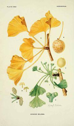 163010 Ginkgo biloba L. / Addisonia, vol. 11: t. 362 (1926) [M.E. Eaton]