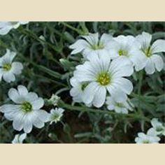 Cerastium tomentosum - Boething Treeland Farms