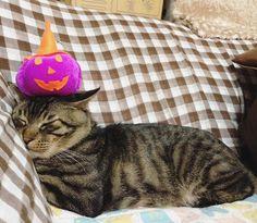 夕方ムサシさんカボチャマンPumpkin King. #musashi #mck #cat #キジトラ #ムサシさん by _daisy