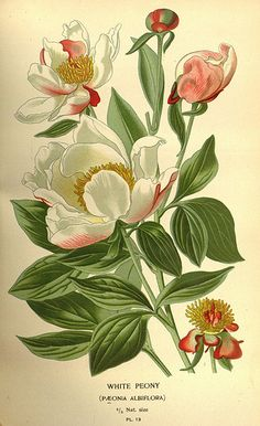 Plate from 'Favourite Flowers of Garden and Greenhouse' by Edward Step, cultural directions edited by William Watson, illustrations selected D. Published by Frederick Warne & Co. Peony Illustration, Illustration Botanique, Floral Illustrations, Vintage Botanical Prints, Botanical Drawings, Arte Floral, Botanical Flowers, Botanical Art, Flower Prints