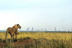 """22 Of The Most Powerful Photos Of This Week  Tony Karumba / AFP / Getty Images A young lion looks towards the Nairobi skyline at the Nairobi national park, Kenya. With all the attention on the cruel slaughter of Cecil the Lion by a US trophy hunter in Zimbabwe, the first international campaign to protect the imposing """"king of beasts"""" kicked off in Kenya on World Lion Day to draw attention to the silent extermination of the big cats around the world"""