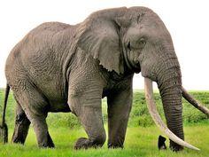Elefant dodade flicka med sten