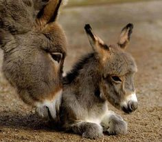 Mother Donkey and foal
