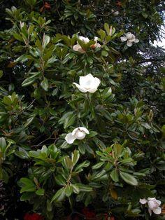 Magnolia grandiflora 'Galissoniere '