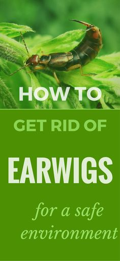How To Get Rid Of Earwigs For A Safe Environment
