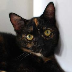 Meet Cinnamon! A sweet and gentle Tortie #cat who was rescued from #HurricaneSandy. #Adopt her today at Helen Woodward Animal Center.