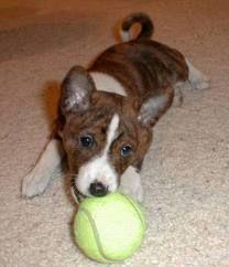Basenji Puppy, Pet Puppy, Dog Cat, Online Pet Supplies, Dog Supplies, Puppy Mix, Yorkshire Terrier Puppies, Happy Puppy, Puppy Care