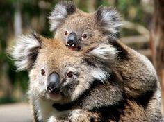 Mamma koala e il piccolo