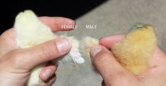How To: Chicks – male or female - All For Garden Backyard Chicken Coops, Diy Chicken Coop, Chickens Backyard, Chicken Hut, Chicken Cages, Chicken Feeders, Silkie Chickens, Baby Chickens, Keeping Chickens