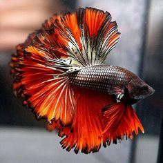 Betta Fish site for information about betta fish care and maintenance. Pretty Fish, Beautiful Fish, Animals Beautiful, Betta Fish Care, Betta Tank, Fish Tank, Colorful Fish, Tropical Fish, Wiener Dogs