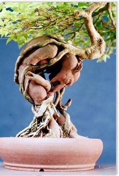 Bonsai Chinese maple, root-over-gargoyle ~ Nick Lenz, USA