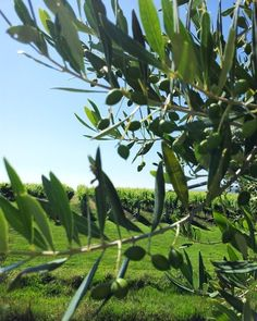 The Elephant Hill olives are getting nice and plump! #elephanthillwinery #hawkesbay #instagood #vineyard #oliveoil #olives