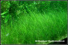 Eleocharis parvula (dwarf hair grass)