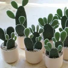 Resultado de imagen para arranjo de cactus com casca de pinus