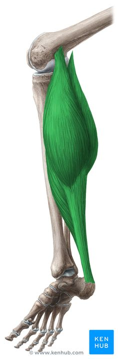 This article describes the anatomy of the triceps surae muscle, including it's supply and components. Learn more about this topic at Kenhub!