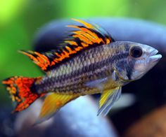 Want to learn more about Cockatoo Cichlid? Check out the Cockatoo Cichlid Wiki and if they are right for your aquarium. Cockatoo Cichlid for sale
