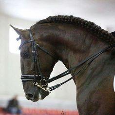 Seni Peregrino VII. PRE Stallion.
