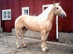 Nearly 98 percent of all American Cream Draft horses have the blood of an Iowan cream colored draft-type mare called Old Granny, who was born at the turn of the 20th century. Her beauty and unique coat coloring prompted breeders in the area to try to create a breed of cream-colored draft horses. Although Percheron, Shire and Belgian blood was later incorporated into the breed, blood typing has shown the Creams are a distinct group of horses and not simply a color breed.