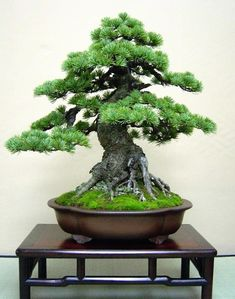 i love bonsai's becuase they are so magical looking and i really think by there beauti they are soo special