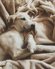 Lady in disguise Sleepy Dogs, Labrador Retriever, Fan, Instagram Posts, Animals, Labrador Retrievers, Animales, Animaux, Labrador