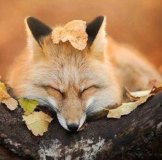 "4,598 Me gusta, 13 comentarios - Wild Life (@wildlives) en Instagram: ""Sleepy Fox | Photo by © Iza Lyson #wildlives"""