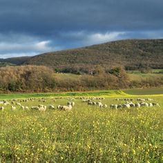 Moutons dans un champ