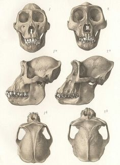 Gorilla and chimp skull