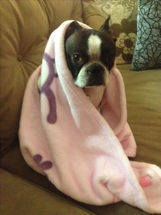 My lil Fiona! A loving Boston terrier who used to steal baby blankets until she got her own! #fionatheboston #bostonterrier #bostonterrierlove #fiona