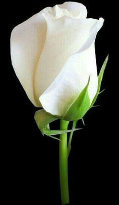 White roses are beautiful, but commemorate loss.part of our story. Amazing Flowers, Beautiful Roses, My Flower, White Flowers, Beautiful Flowers, White Tulips, Coming Up Roses, Love Rose, Exotic Flowers