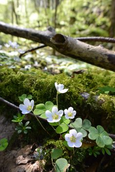 White clover blooms in forest Woodland Flowers, Woodland Garden, Forest Flowers, Wild Flowers, Beautiful Flowers, Beautiful Places, Walk In The Woods, Nature Pictures, Nature Photography