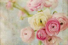 Flower Photography, Ranunculus Photo, Pastel Photo, Shabby Chic Decor, Cottage Chic, Romantic Photography, 8x10