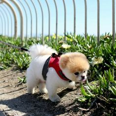 The Pomeranian is a toy Spitz breed known for their adorable foxy face, energy and of course, their fluffiness. Cute Puppies, Cute Dogs, Dogs And Puppies, Awesome Dogs, Boo And Buddy, World Cutest Dog, Fluffy Dogs, Animals Of The World, Nature Animals