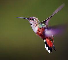 colibrí inca negro - Buscar con Google