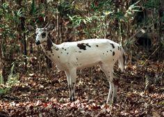 Piebald Deer | Piebald colored Deer - White with Brown Spots | Flickr - Photo Sharing ...