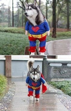 It's a Bird.. It's a Plane.. It's Superdog!!  Will this incredible dog save the world? #FunnyPet @PetPremium Pet Insurance