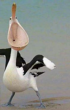 Surprised pelican
