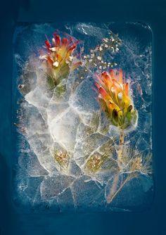 Bruce Boyd laat in zijn magistrale fotografie zijn fascinatie blijken voor bloemen die door het ijs worden gevangen gehouden.