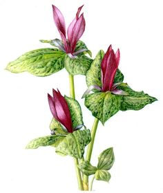 Janet Wood – The Society of Botanical Artists