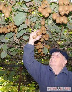 KIVI - VITAMÍNOVÁ BOMBA | SereďOnLine Kiwi, Berries, Fruit, Lawn And Garden, Household, Bury, Blackberry, Strawberries