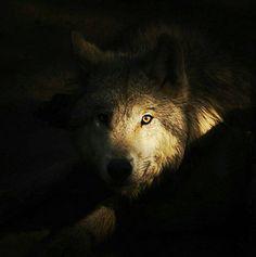 oculto (grey wolf)