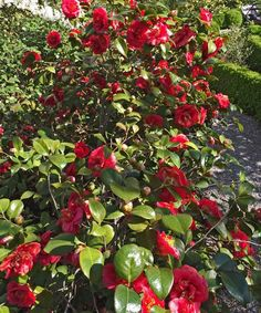 Camellia jaonica 'Professor Sargeant' - wonderful spring blooming shrub | plantsfordallas.com