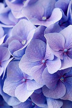 33581 | Hydrangea macrophylla 'bodensee' bodensee blue | Clive Nichols | Flickr