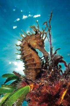 sea horse with seaweed.