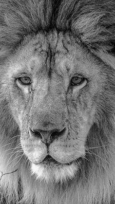 Lion Portrait. -