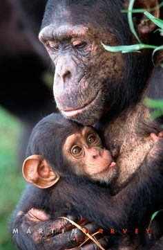 Chimps / mama and babŷ. There's no moral difference between the animals, birds, fish, and insects we hunt, those we use for entertainment, those we kill for food and use as commodities, and those we love as members of our families. All animals, birds, fish and insects are sentient and have a right to live. Go vegan and stay vegan for them. It's the least we can do. Start here: www.befairbevegan.com Adopt, spay and neuter your companion animals!