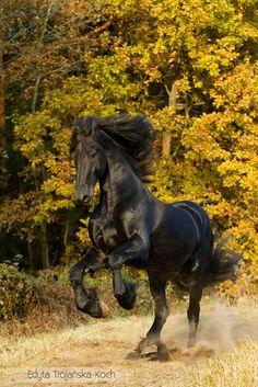 Friesian stallion in autumn - Friesian stallion galloping in autumn against the…