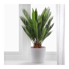 CYCAS REVOLUTA Potplant  - IKEA - 6,99